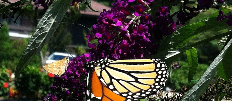 buddleia-monarch-moth