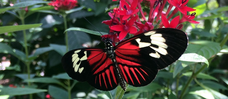 butterfly-pentas