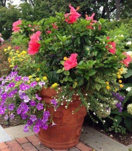 hibiscus-petunia-pot
