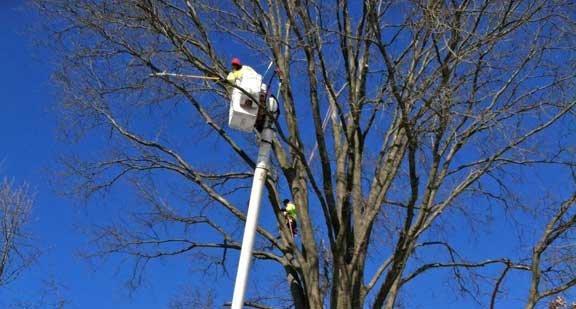 Winter-Pruning-Tree-TCLI-Goldberg-Rodler2